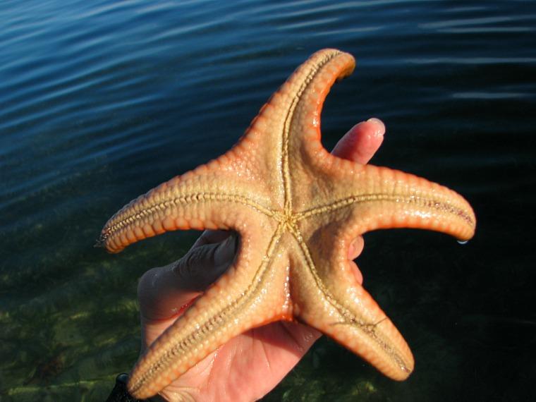 philippines-starfish