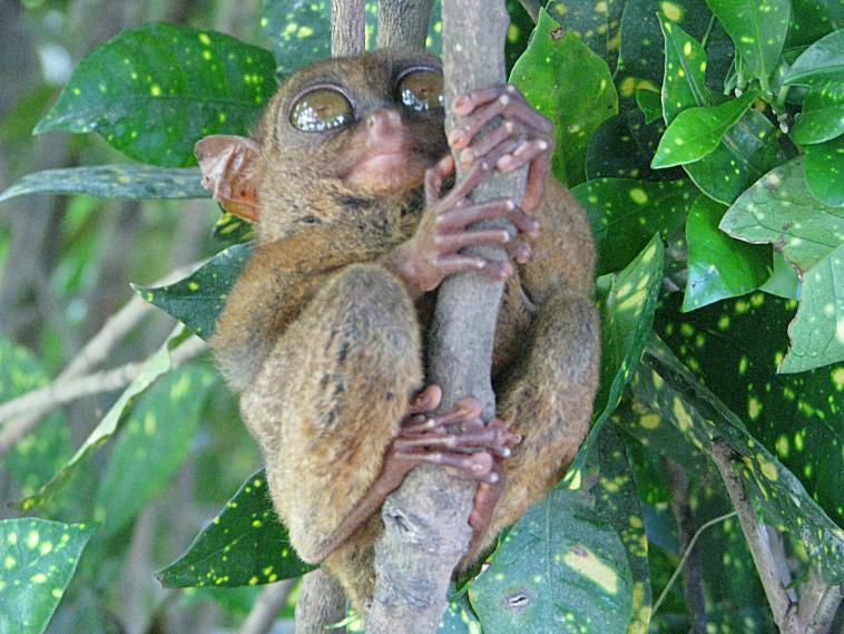 A tarsier. philippines