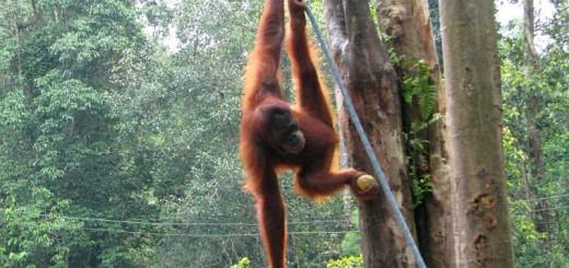 Orangutan in Borneo, Malaysia.