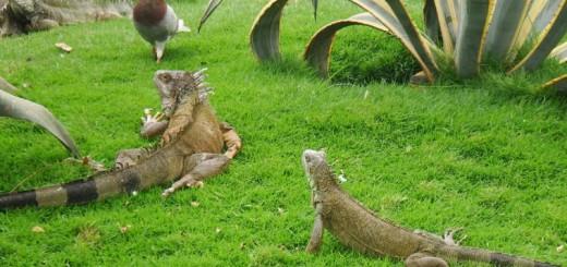 Iguanas in Guayaquil, Ecuador