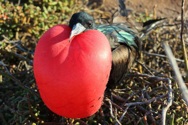 frigatebird galapagos islands