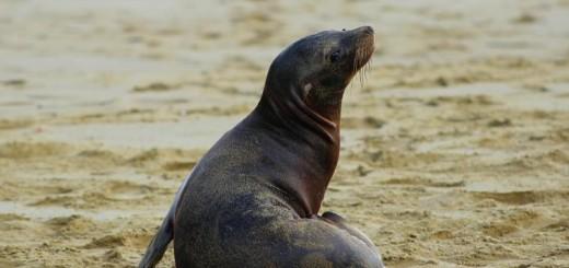 galapagos-punta-pitt-sea-lion