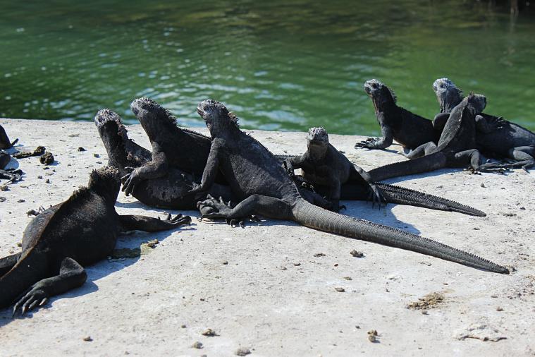 galapagos-santa-cruz-iguanas