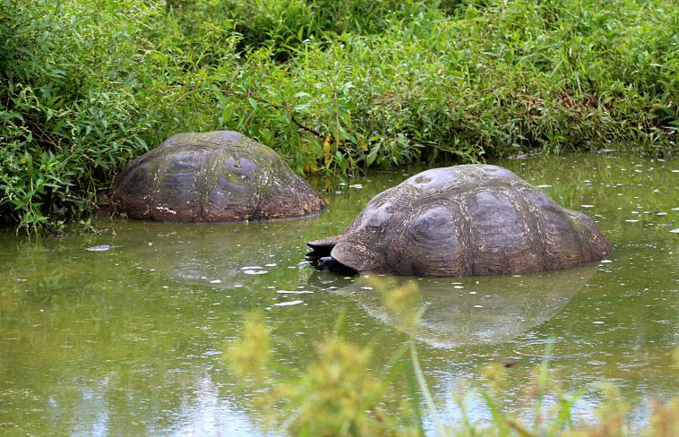 galapagos-santa-cruz-tortoise-water