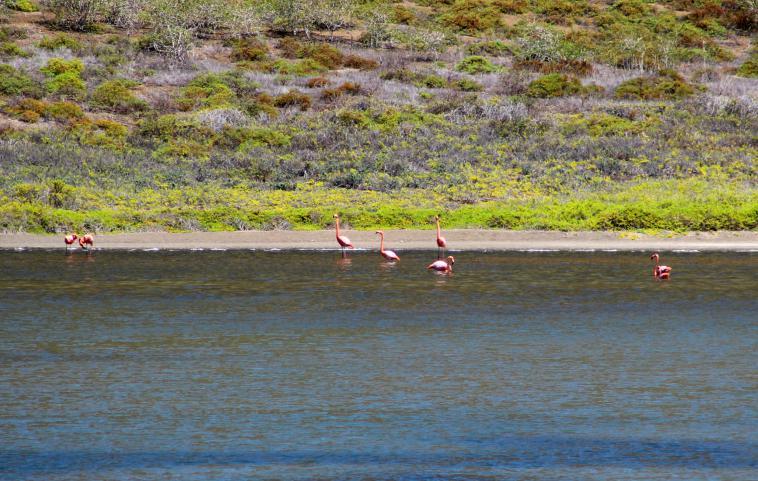 galapagos-sombrerochino-flamingo