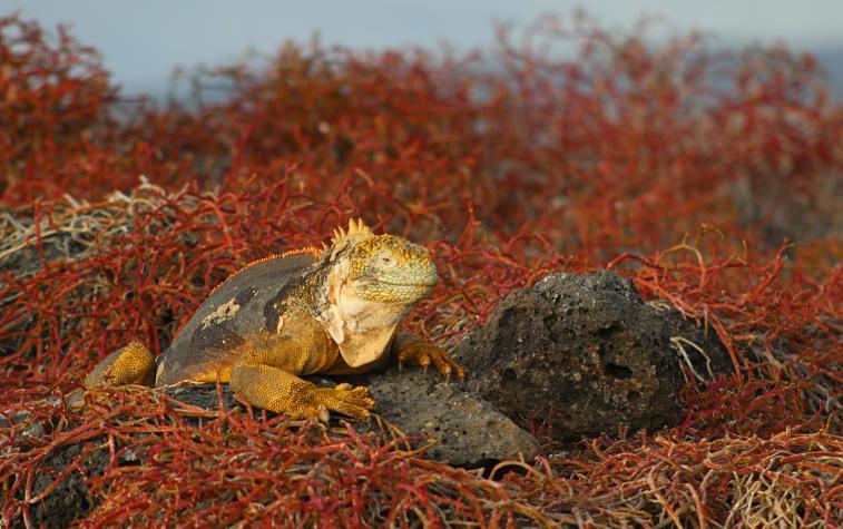 galapagos-plaza-iguana7