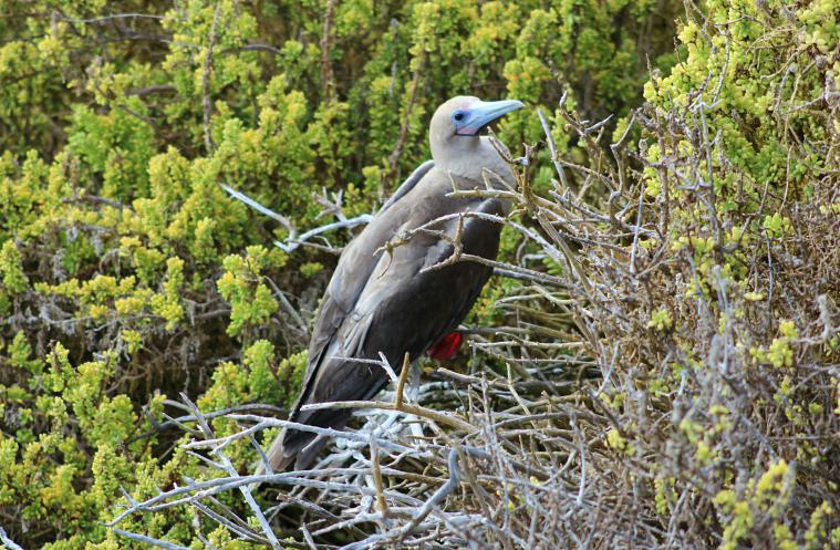 A red-footed booby.