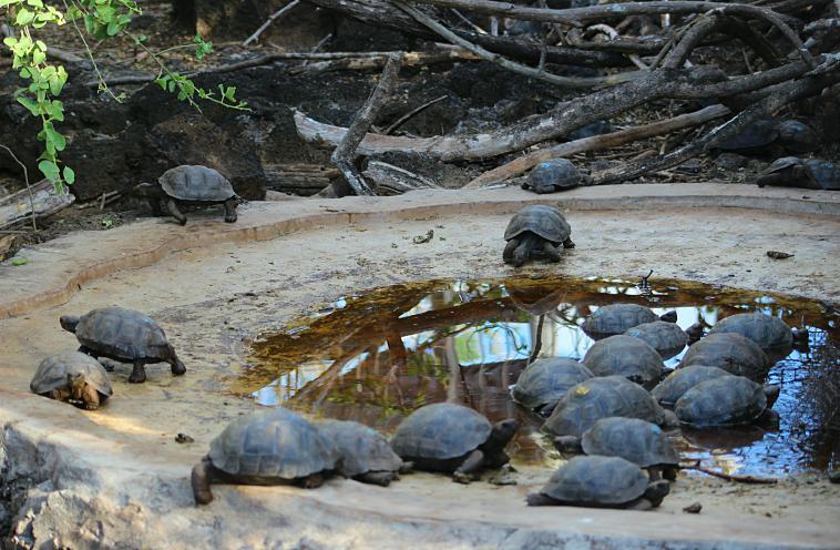 galapagos-santa-cruz-turtles tortoise breeding charles darwin
