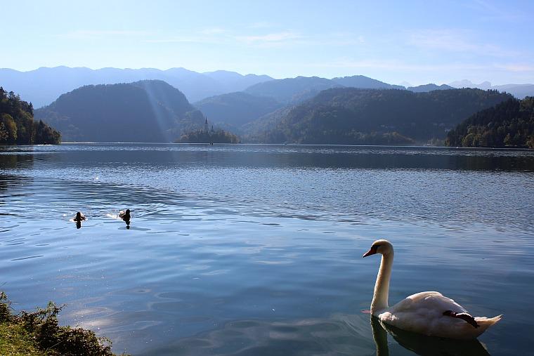 slovenia-lake-bled-swans