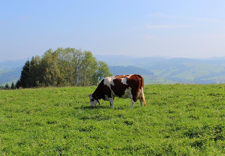 switzerland-emmental-cow