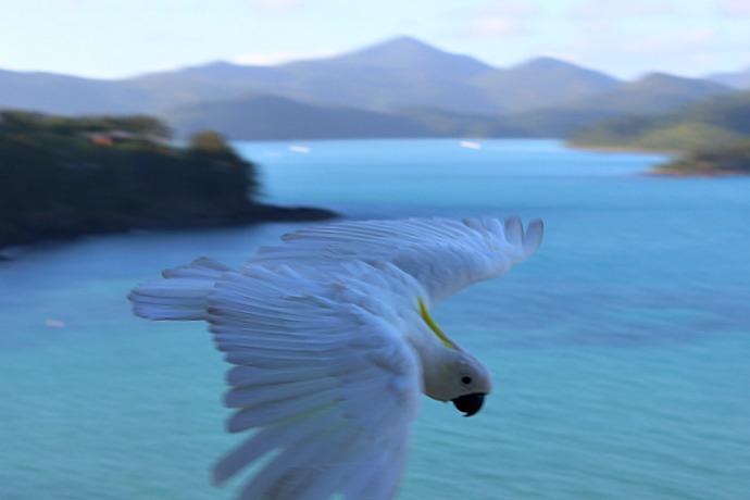 australia-hamilton-island-cockatoo-4