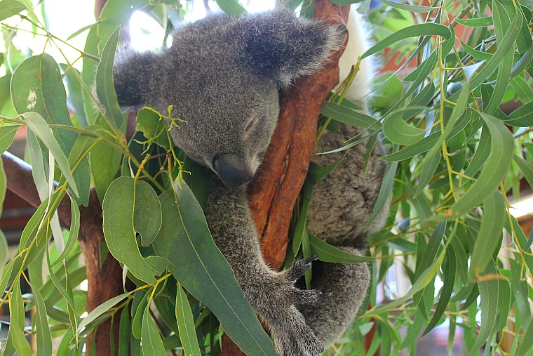 australia-hamilton-island-koala-2