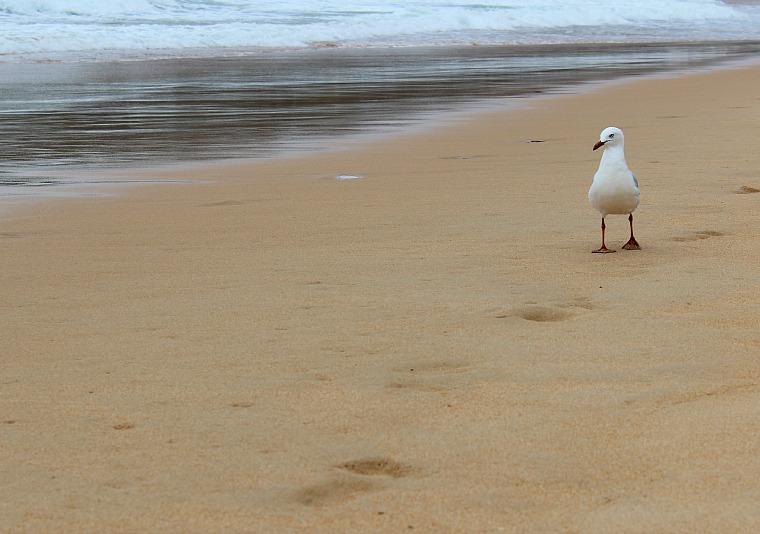 australia-manly-beach-bird