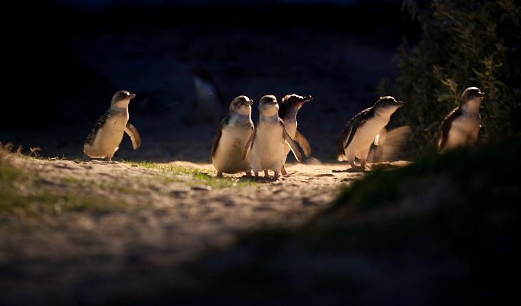 australia-phillip-island-Penguin Parade (1)
