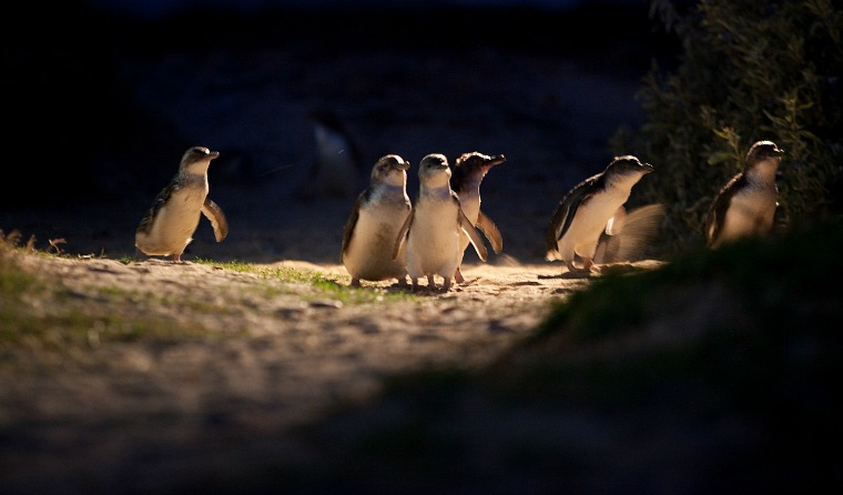 Watching the penguin parade on Phillip Island, Australia