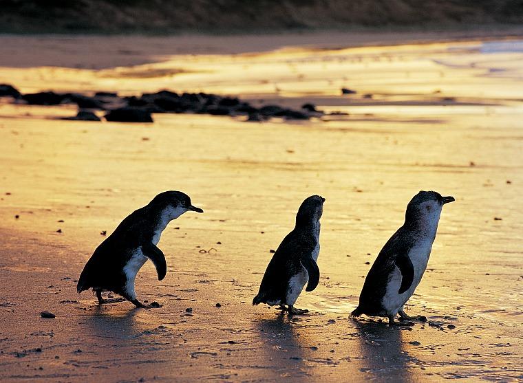 australia-phillip-island-Penguin Parade (4)