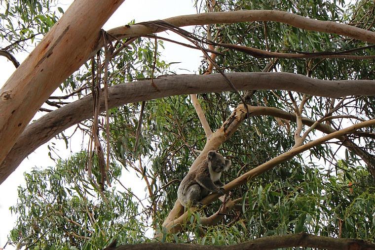 australia-phillip-island-koala
