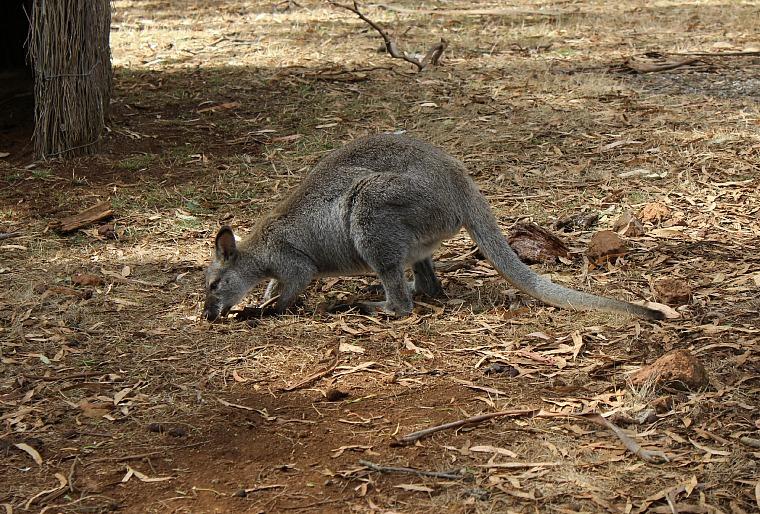 australia-phillip-island-wallaby