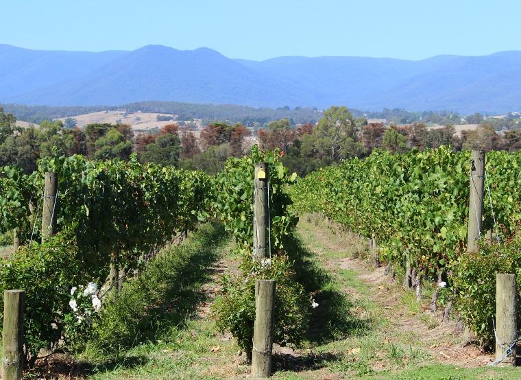 australia-yarra-valley-vines