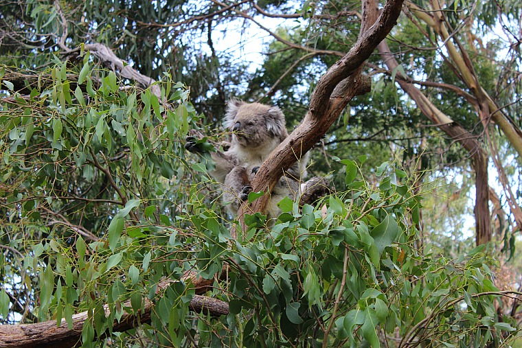 australia-phillip-island-koala-5