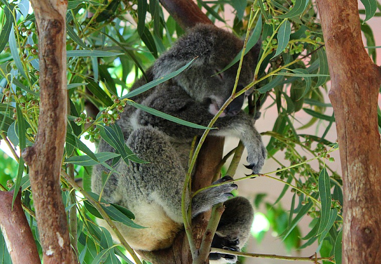 hamilton island koala