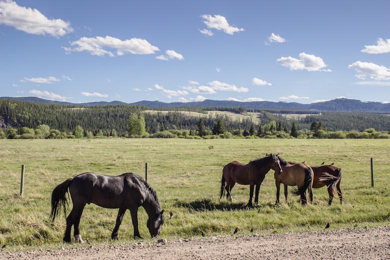 Canada-Alberta-Sundre-Horses