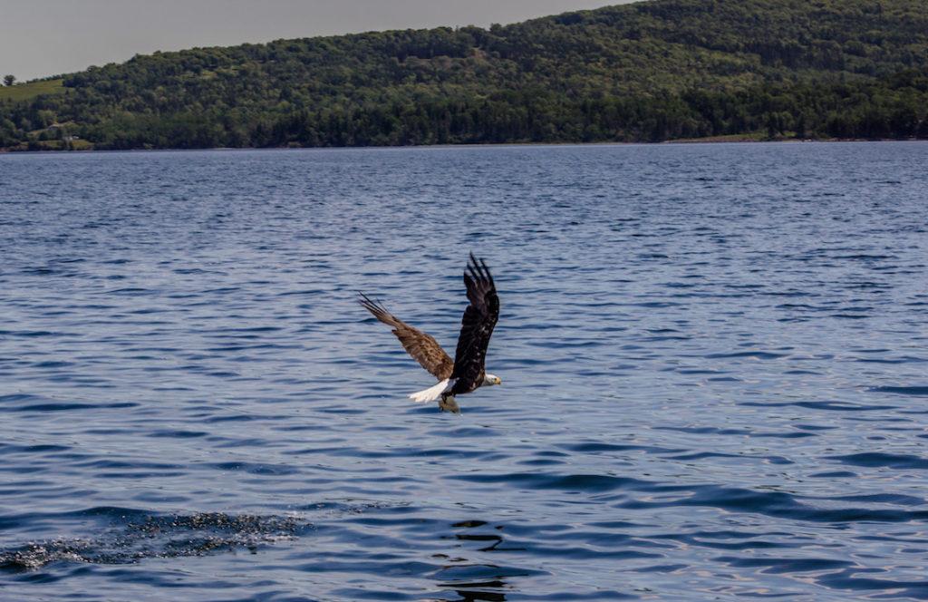 Canada-Nova-Scotia-Baddeck-eagle-6