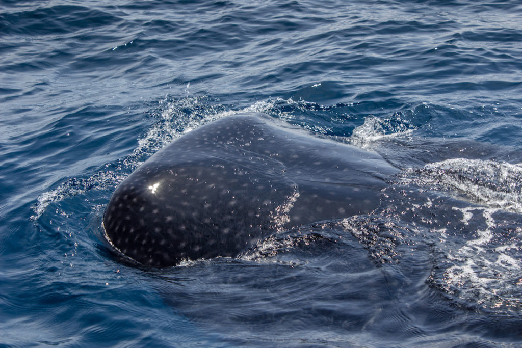 Mexico-Holbox-Whale-Shark-22