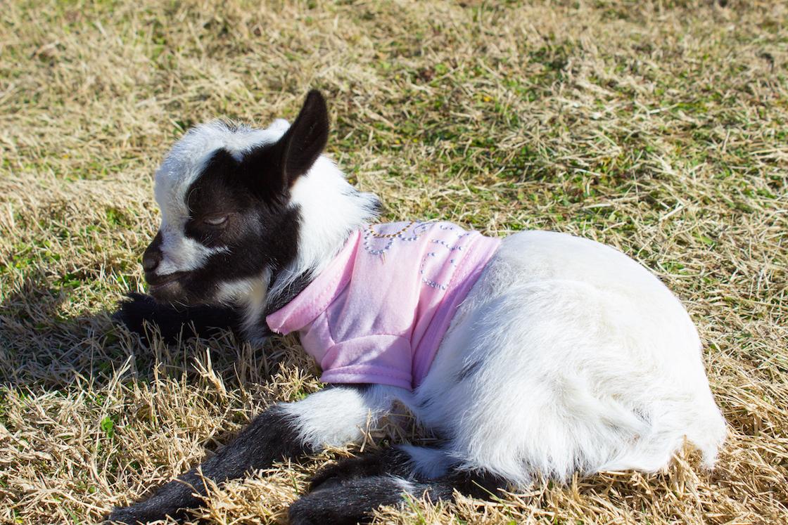 Goat Yoga in Arizona